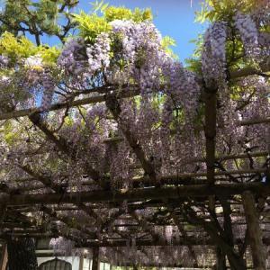 傳明寺の藤が咲きました