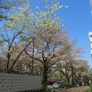 「ウコン桜」も選挙に立候補?