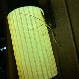 蟷螂さんなのね
