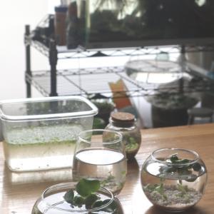 今が水草グラスの旬、ナポリタン