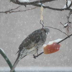 臨時更新、降雪の野鳥