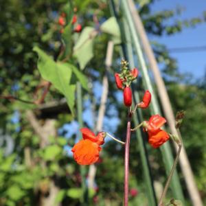 黒花豆の赤い花、浴衣に麻の葉の細帯
