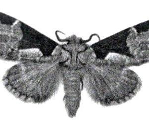 「モンクロギンシャチホコ」 名前が分からなかった蛾 やっと判明!