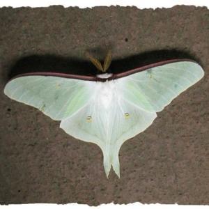 蛾売りおじさんの「刺繍の蛾たち」に魅了されました〜伊丹市昆虫館で〜