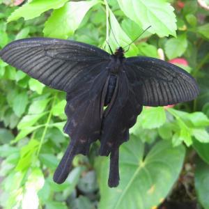 ☆ ポインセチア ☆ と 放チョウ体験で放った黒いチョウ♪