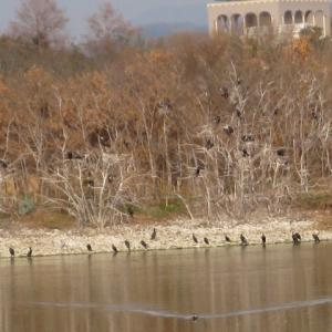 冬枯れの昆陽池公園・昆陽池 〜3羽だけのコブハクチョウと野鳥たち〜