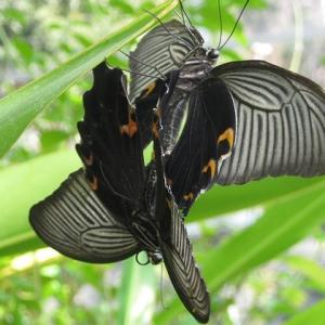 ジャコウアゲハのラブラブな交尾シーンが撮れました 〜昆虫館で〜