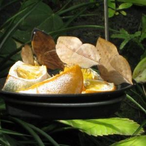 オオゴマダラとコノハチョウ 瑠璃極楽鳥花の葉の上で > にらみ合い