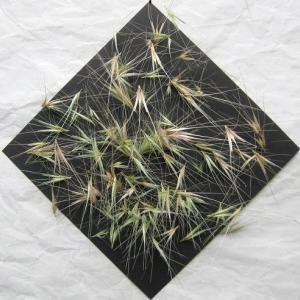 ムギクサ 道ばたで見た麦のような草は草だった!