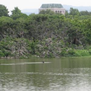 3羽のコブハクチョウの近況 〜昆陽池公園  2020.06〜