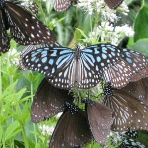 フジバカマの花の蜜を吸うチョウたち・・超過密よ・・