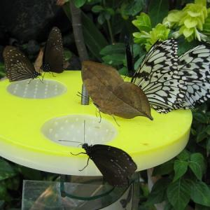 枯れ葉 のような コノハチョウ の 食事風景 ・・なに 食べてるの・・(後編)