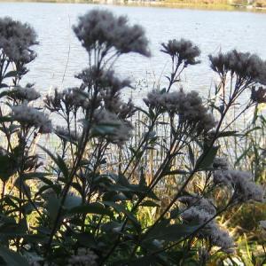 今季も「コブハクチョウとカモ」のコラボ風景は見られない! 昆陽池・給餌池