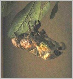 蝉(セミ)になれなかった蝉の幼虫 ・・羽化できず・・