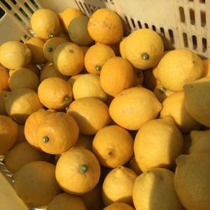 レモン収穫終わりました!