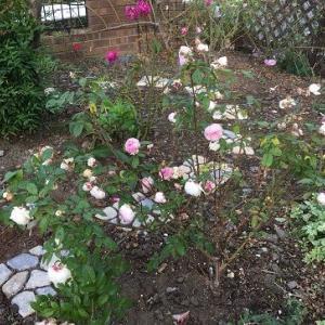 秋色に咲いた薔薇たち
