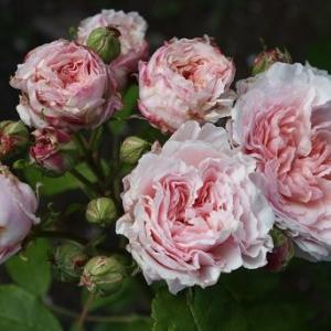 花見小路、フレグラント・アプリコットなど5月のバラ