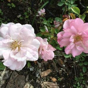 ドンヨリの日が続いてもバラは咲く!