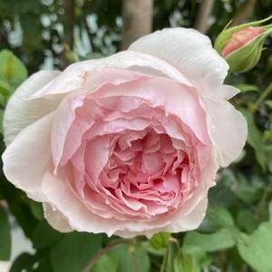 今日も開花ピークです。(⌒∇⌒)