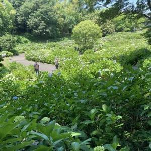 荻窪公園のアジサイ