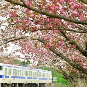 爛漫八重桜(日田彦山線)