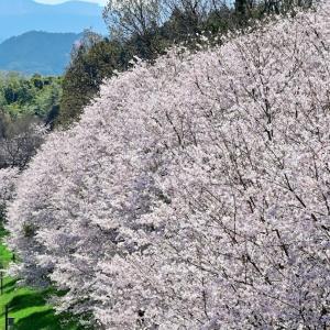 桜花爛漫春爛漫(平成筑豊鉄道田川線)
