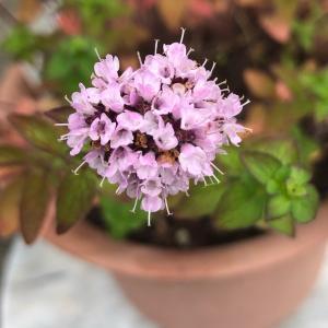 オレガノのお花