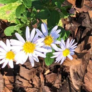 可愛い野菊