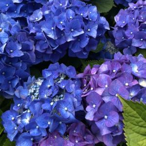 街の紫陽花
