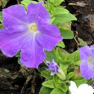 ペチュニア 薄紫