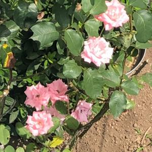 最初のバラ ベランダから