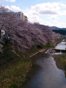 桜開花予想2017!春が楽しみですね(*^^*)