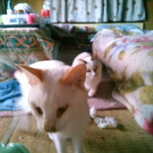練馬49頭多頭飼育崩壊の猫達 幸せバトン2番手のばぁばの旅立ち