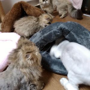 ペルシャ猫ブリーダー崩壊の猫達 大雪の日にひまわりが…