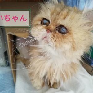 ペルシャ猫ブリーダー崩壊 最後の妊婦猫さんの出産!