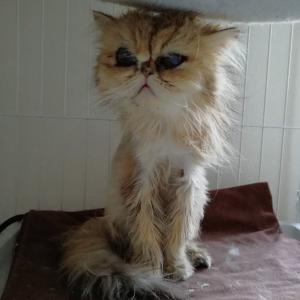 ペルシャ猫ブリーダー崩壊 一番小さく産まれた子が旅立ちました