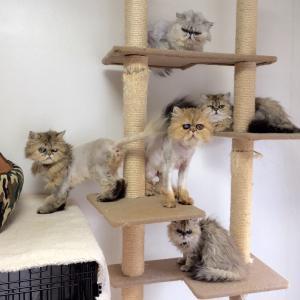 ペルシャ猫ブリーダー崩壊の猫達の今