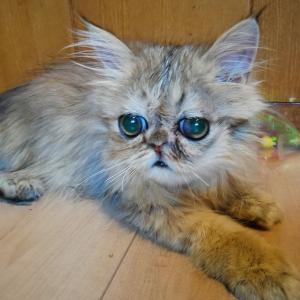 ペルシャ猫ブリーダー崩壊の猫達 鼻たれっ子