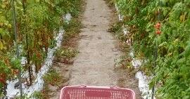 【農業作業10月15日】台風の片づけ、ミニトマト最後の出荷から写真展までの日