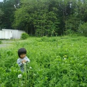【農業作業5月23日】ぶどう畑の棚作りスタートも、緑肥ヘアリーベッチが覆い繁りすぎで、どこに資材置いたかわからない