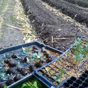 【農業作業5月25日】続、いろいろ定植。キャベツ、カリフラワー、ブロッコリー