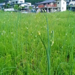 【農業作業5月28日】まだまだ放置でも勝手に実る山菜はありますよ!