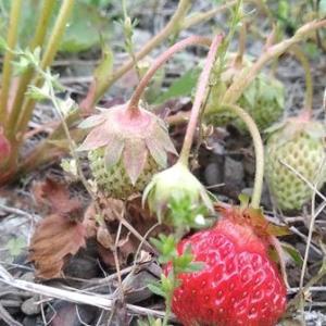 【農業作業6月2日】放置栽培(?)ですから無農薬無肥料の野生化したイチゴですよ