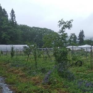 【農業作業6月14日】通路に緑肥ヘアリーベッチは刈り込んで実験終了!で結果は?