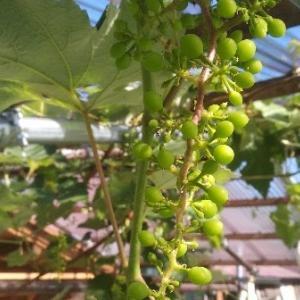 【農業作業7月1日】ブドウの実とキノコがにょきにょき?