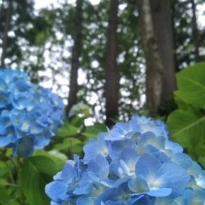 【農業作業7月3日】ラッキョウ、ニンニク、クレソン、スグリの収穫をして、食べてみた!