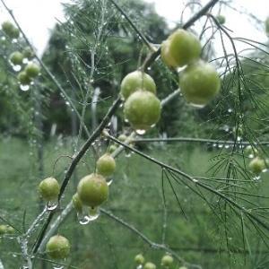 【農業作業7月6日】大雨の中、アスパラを収穫してみたが、ほんの少量のみでした、、、。