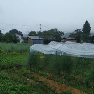 【農業作業7月7日】無施肥な畑なのに、トマトに窒素過多の症状が??