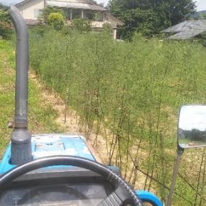 【農業作業8月6日】どうも栽培の苦手なキャベツを雪中用に定植しました