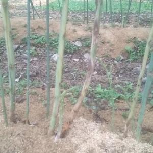 【農業作業9月14日】アスパラ畑が去年同様に病気蔓延中と、続秋野菜の種まき